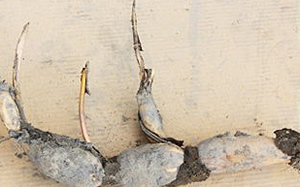 栽培用芽付きレンコン