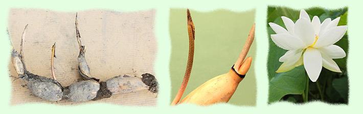 倉敷市連島 井上ファームの芽付きレンコン